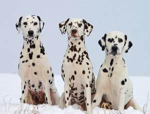 Photo of three Dalmatians Waggy Walkys