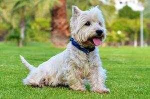Photo Of West Highland Terrier - Westie - Waggy Walkys