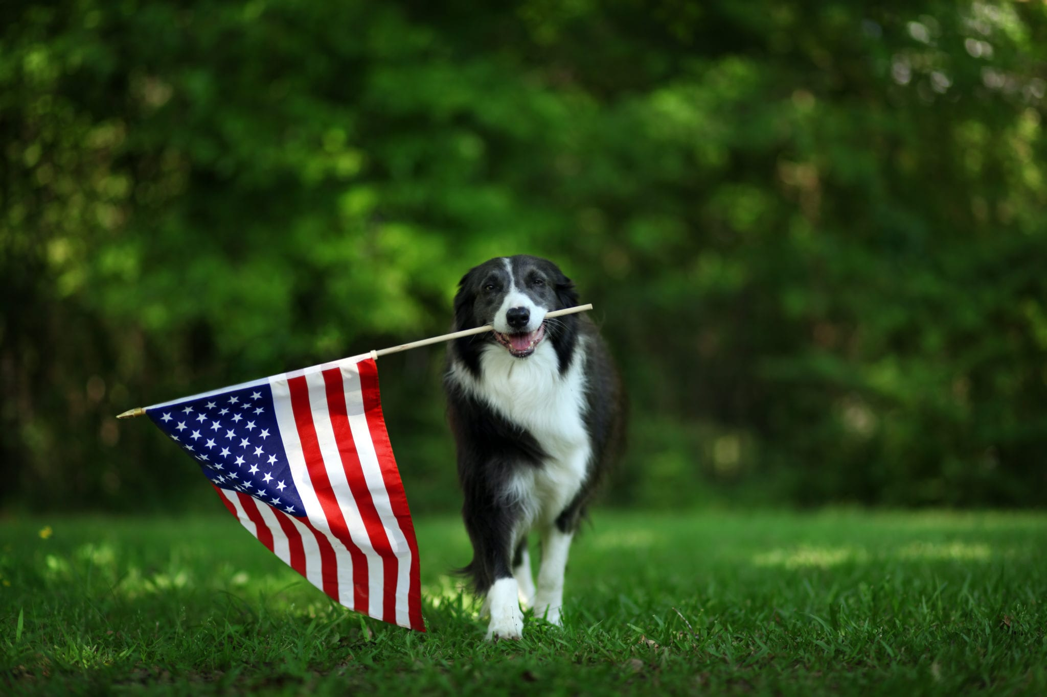 Border Collie 4th of July