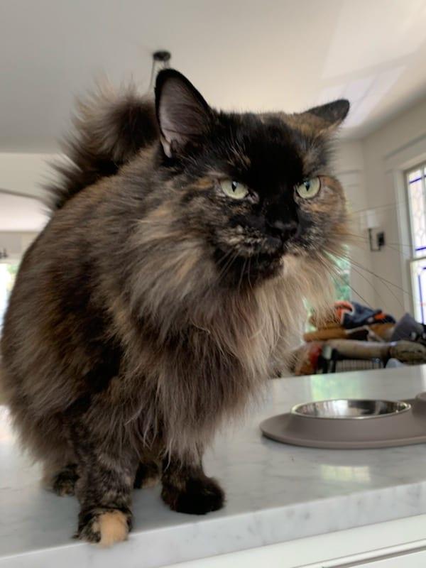 Domestic Long Hair Cat
