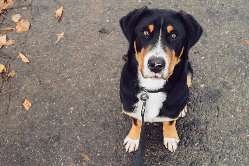 swiss mountain dog out for walk with dog walker waggy walkys