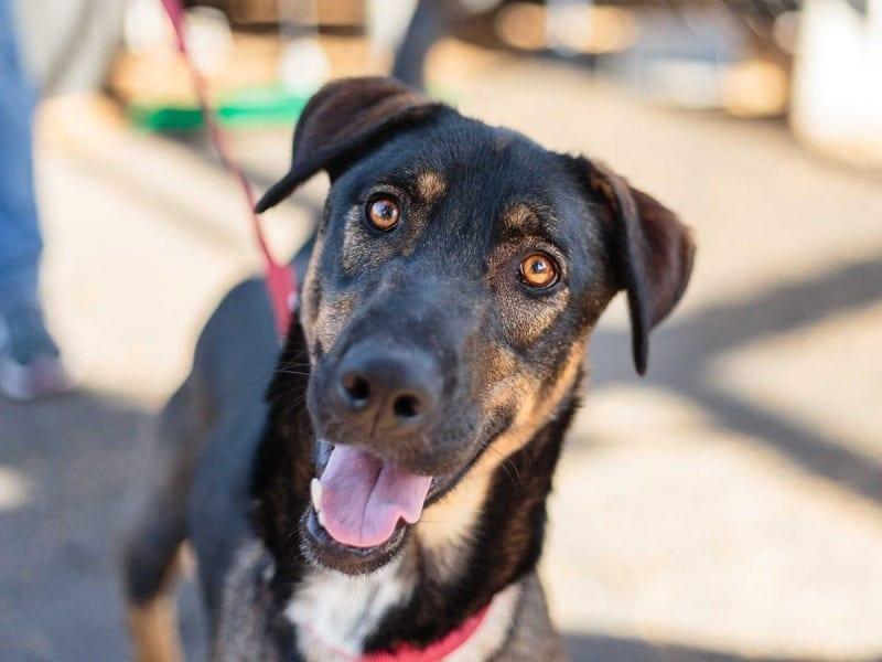 Adoptable dog Flash (Rocket Dog Rescue rocketdogrescue.org)