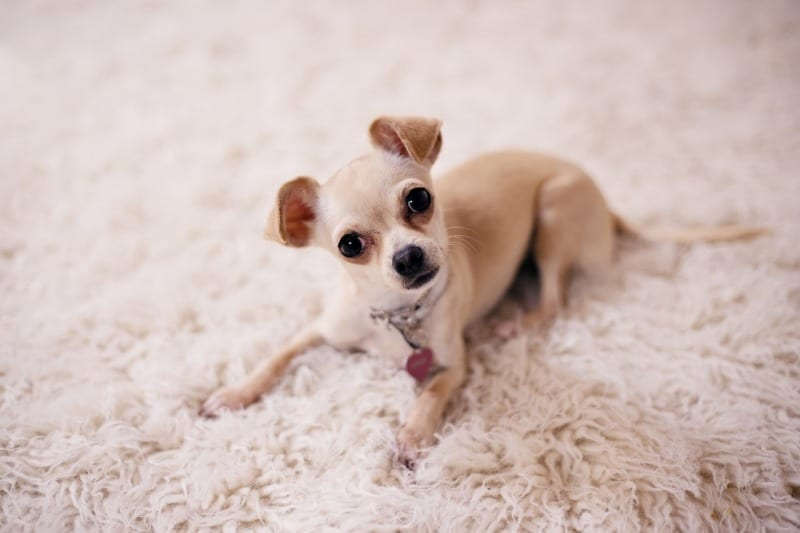 chihuahua-puppy-lying-on-carpet waiting for dog walker