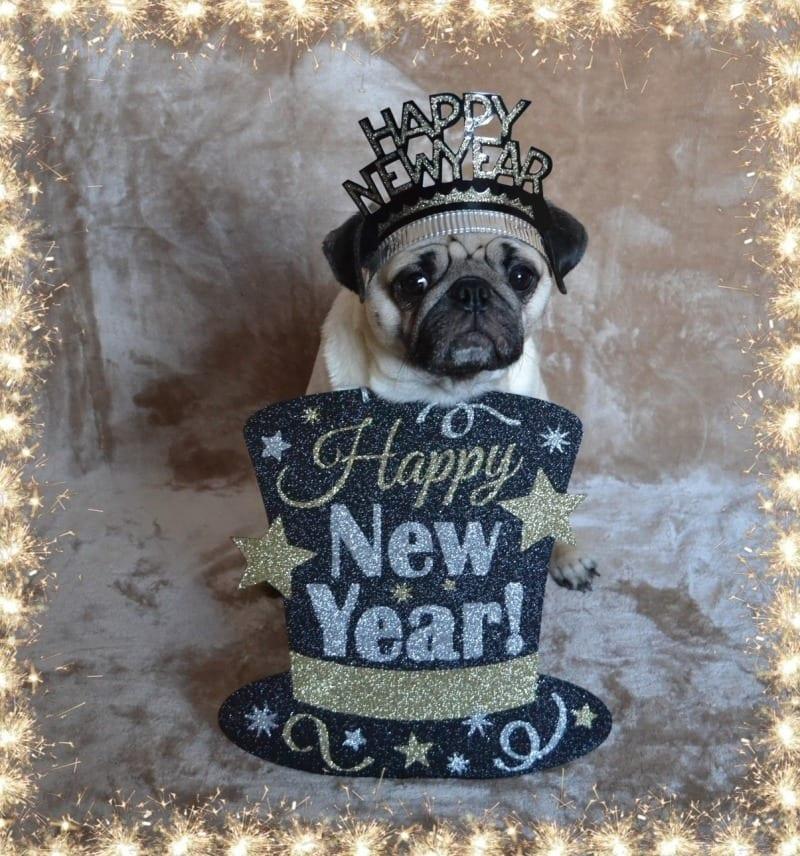 Pug Wishing Everyone a Happy New Year