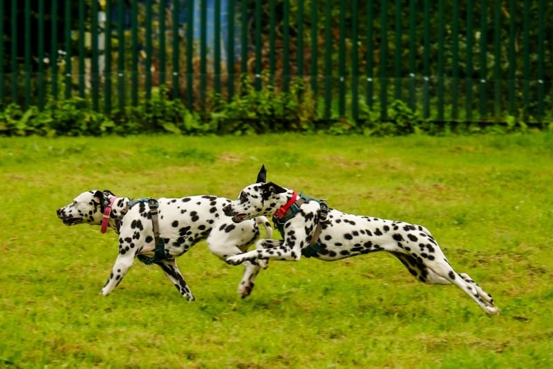 Two Dalmations Running Dog Park Play Time