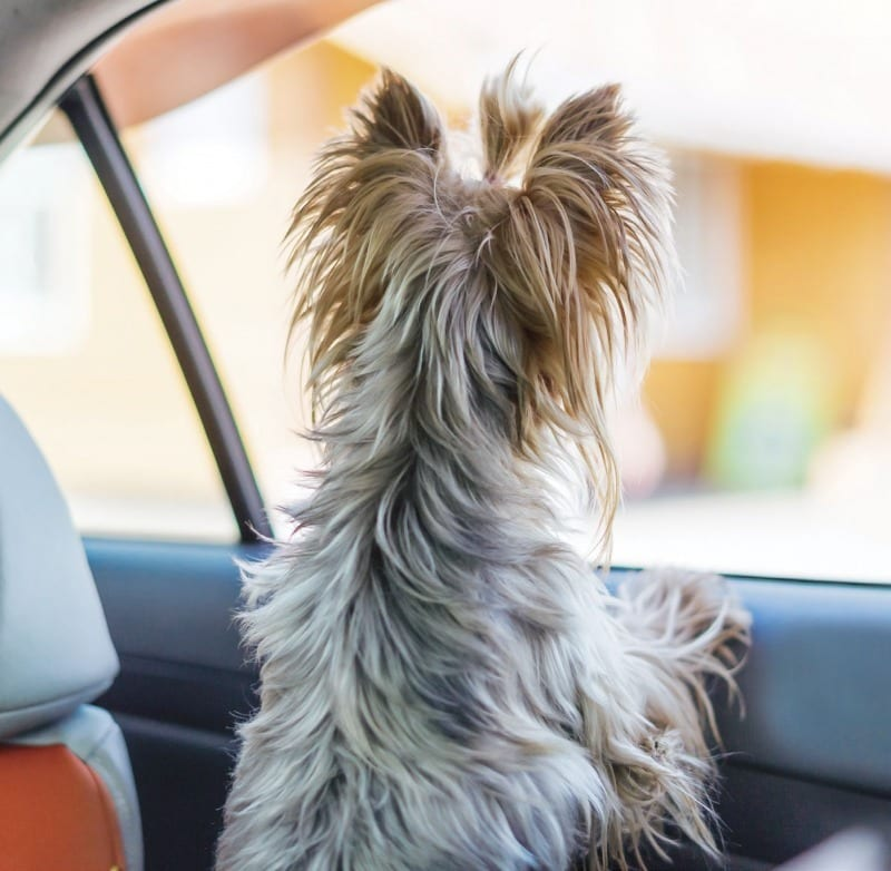 Yorkie Yorkshire Terrier Eagerly Waiting in Car Window