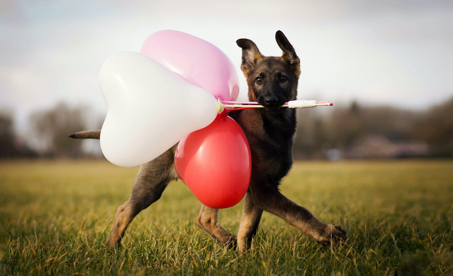 Waggy Walkys German Shepard Puppy Running with Valentines Day Balloons in His Mouth