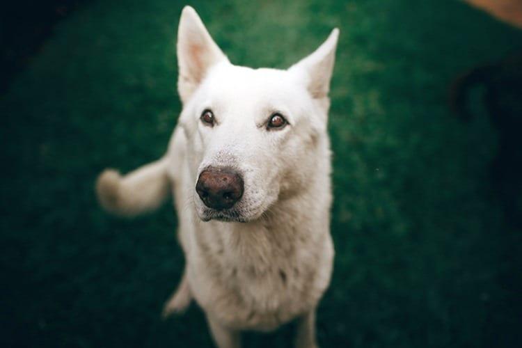 Waggy Walkys Dog Walking skittish-husky-dog