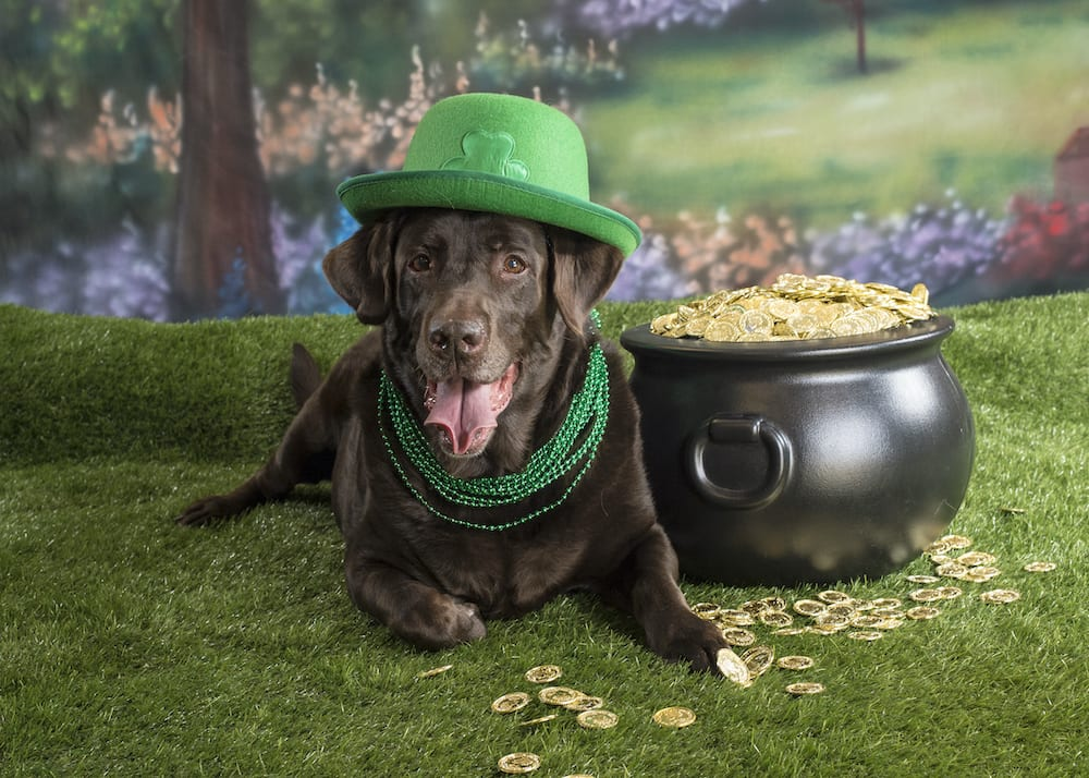Saint Patricks Day Labrador Retriever Photo by Waggy Walkys